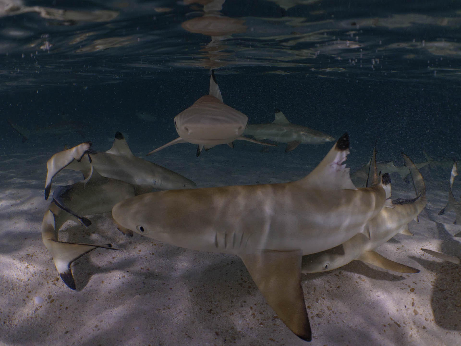 Blacktip reef sharks up close
