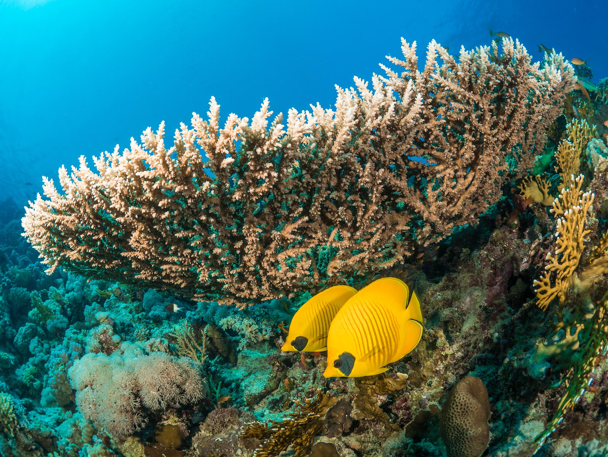 two butterfly fish beneath coral