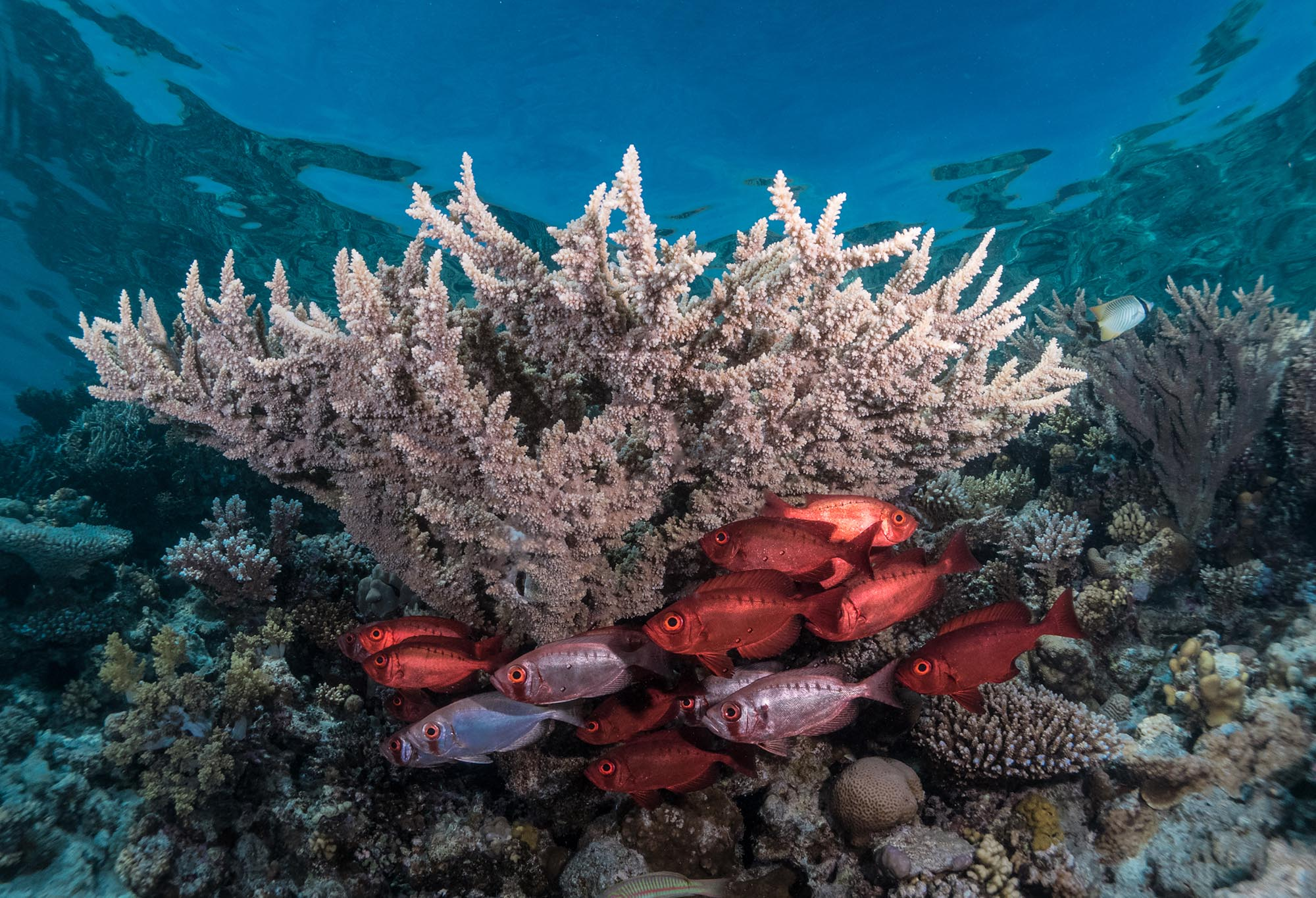 red reef fish beneath coral
