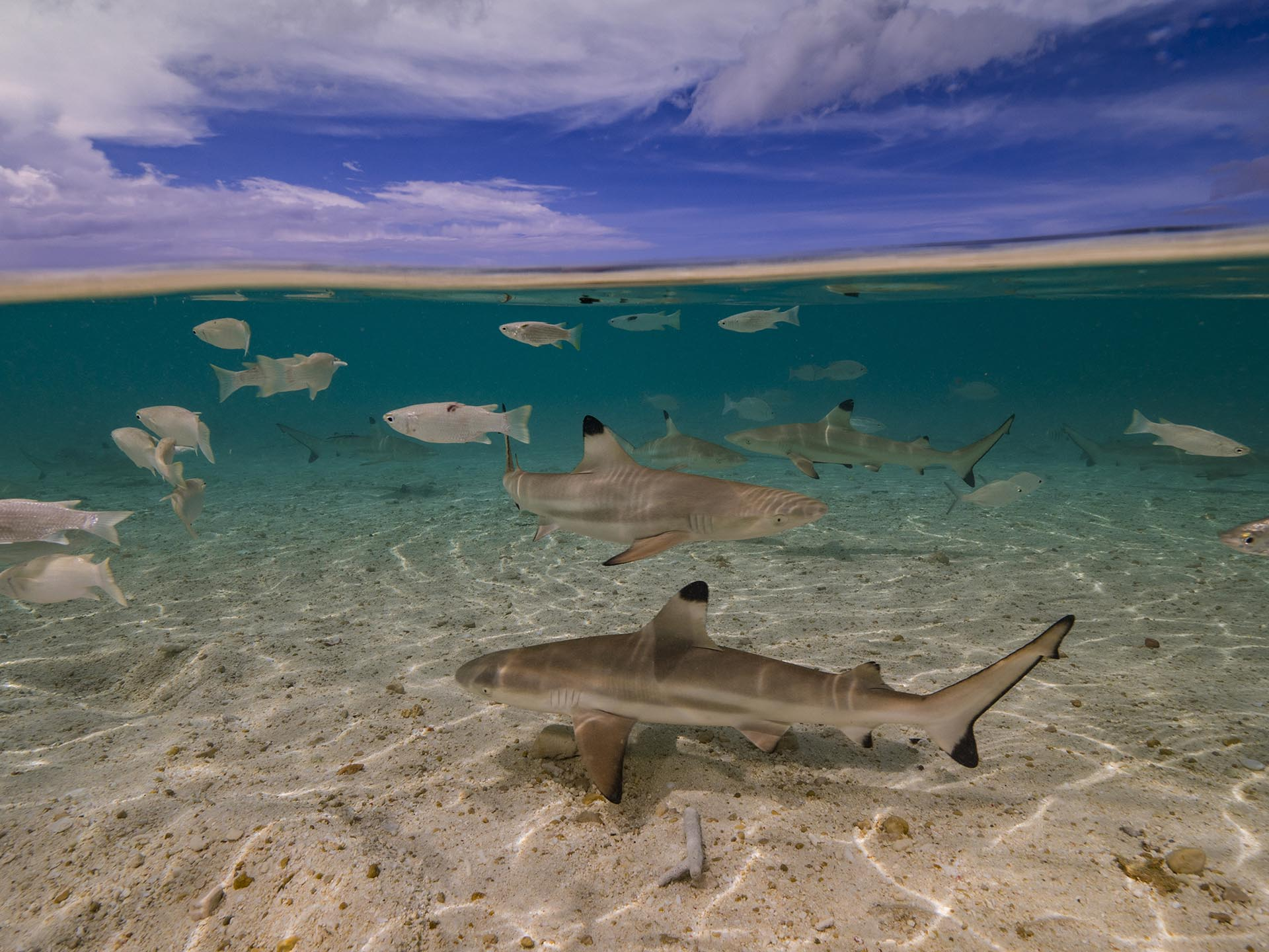 Black tip reef sharks in shallow water