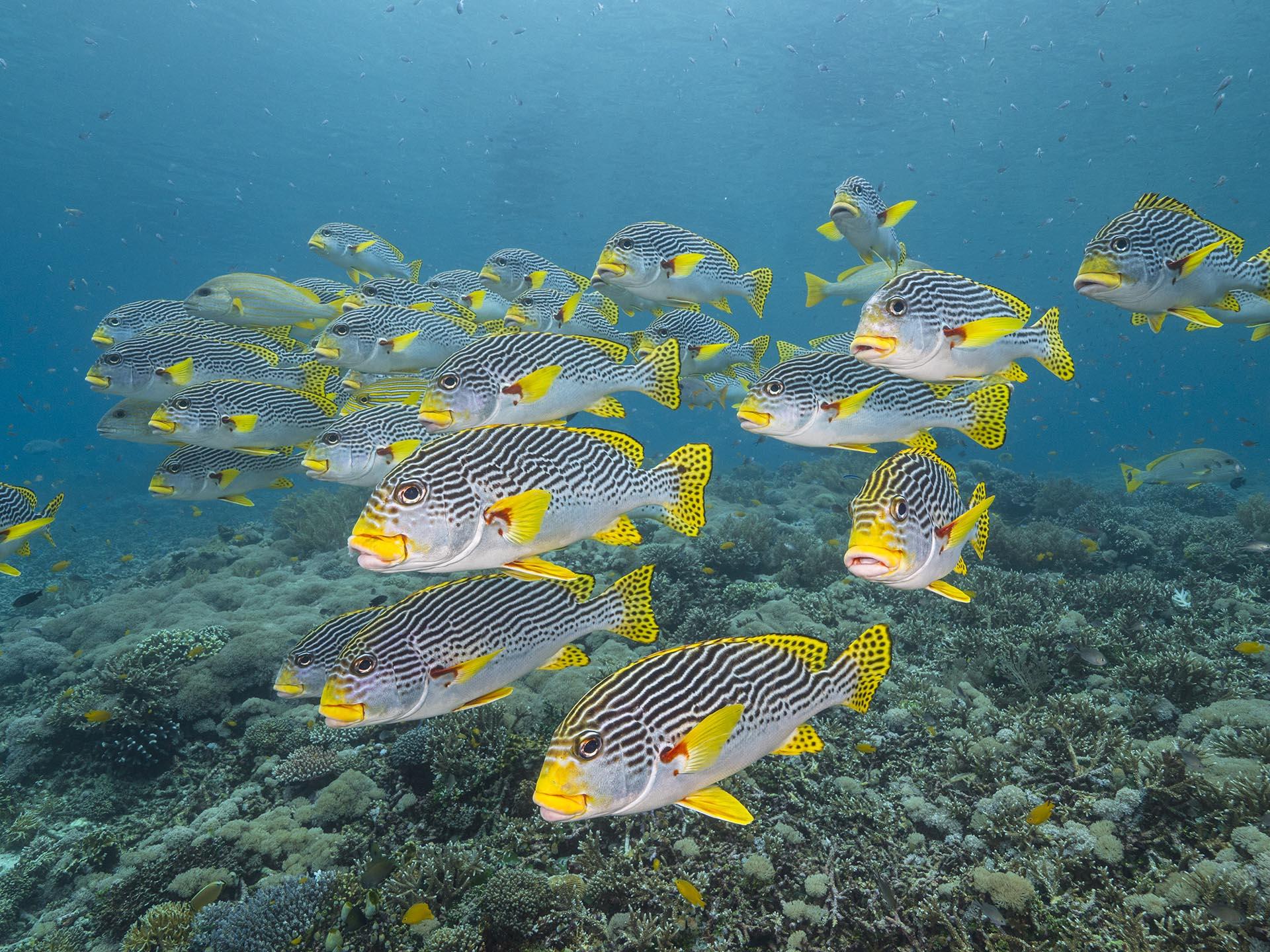 sweetlips over hard coral reef