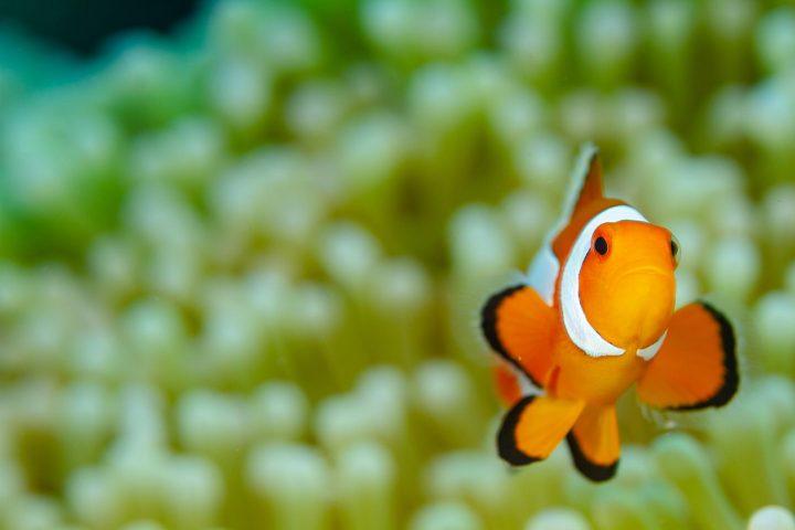 Juvenile clown fish
