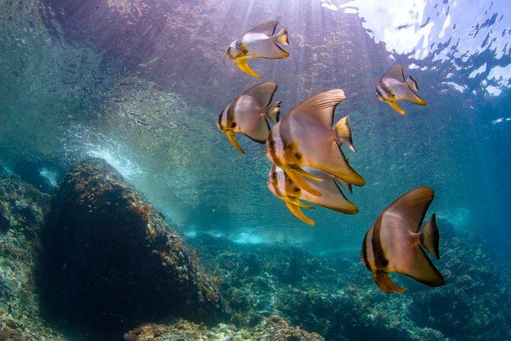 School of juvenile batfish