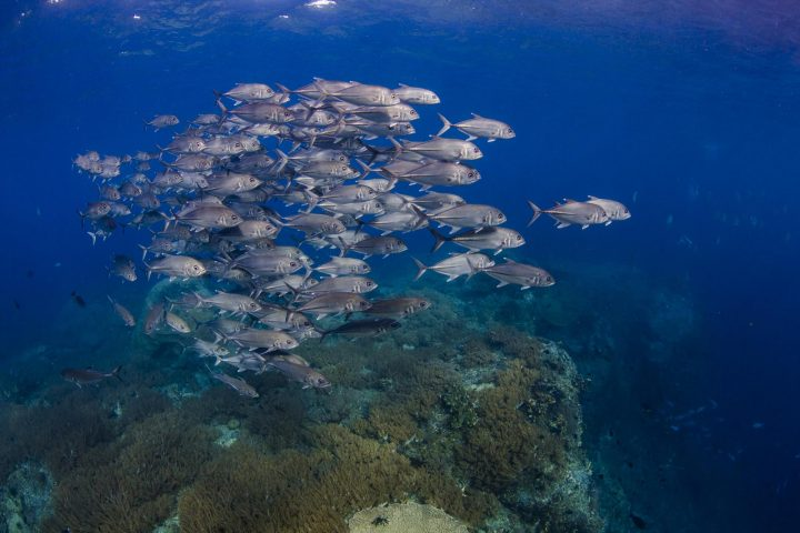 School of jack fish above coral reef