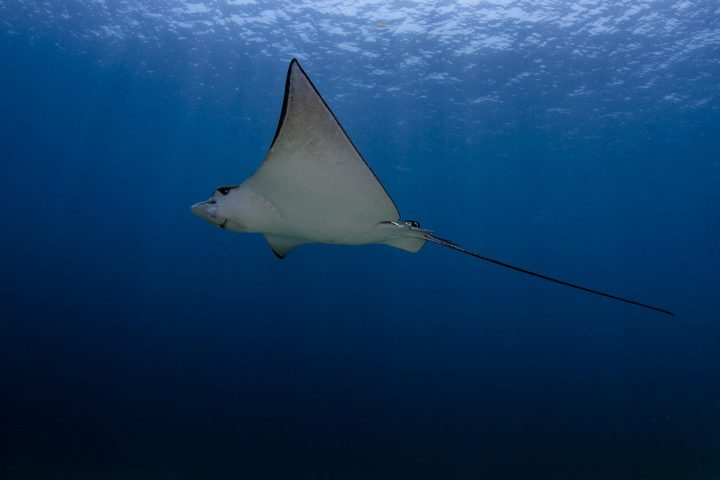 Spotted eagle ray swimming in blue water