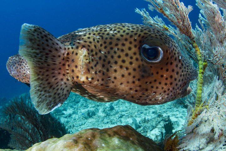 Close up of porcupine fish