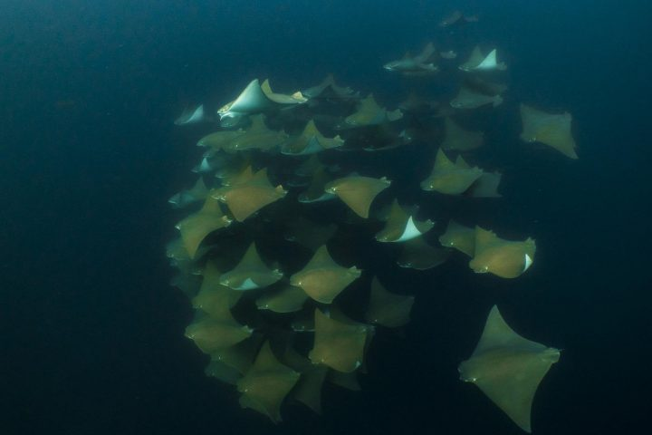 School of cownose rays