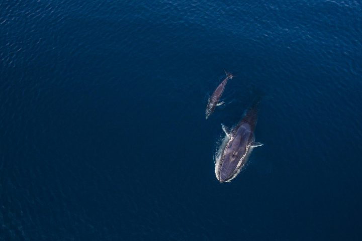 Mother and calf omura's whale