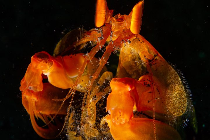 Orange mantis shrimp