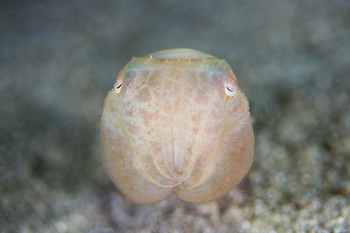 Juvenile reef cuttle fish