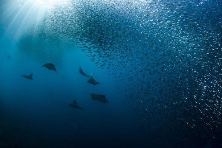 Mobula rays hunting silversides