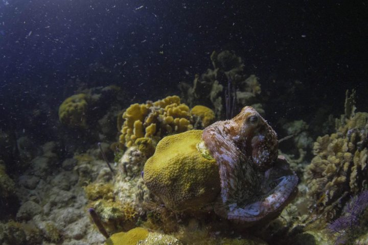 Octopus at night in Belize