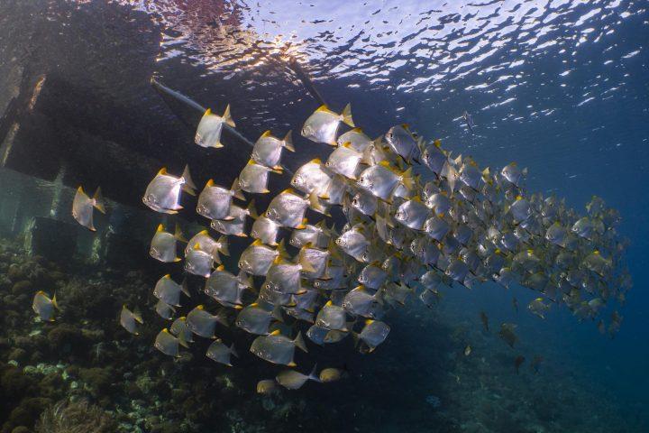 Diamond spadefish below jetty in Alor