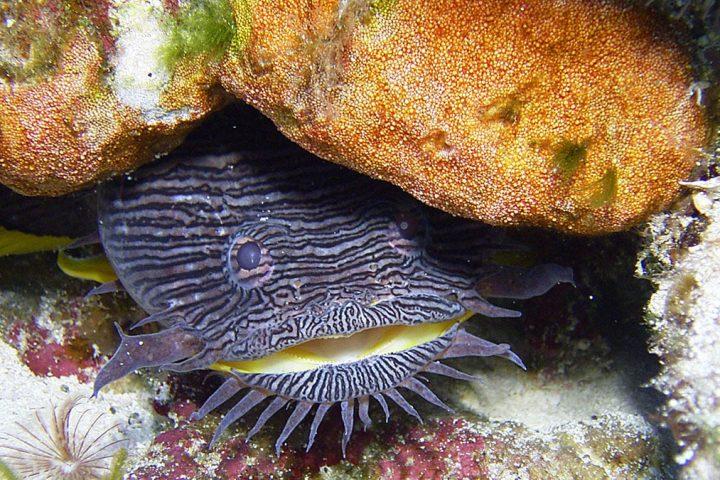 Splendid Toadfish in Belize